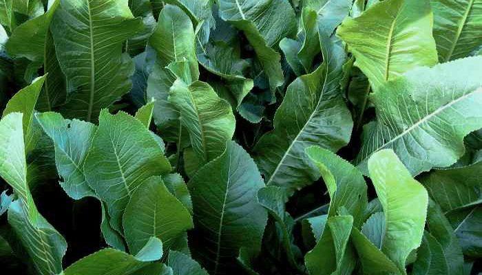 Растение хрен